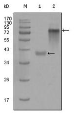 AM06300SU-N - Cytokeratin 19
