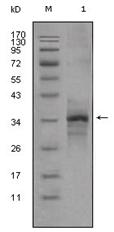 AM06308SU-N - Myostatin
