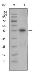 AM06309SU-N - Apolipoprotein L1 (Apo L1)