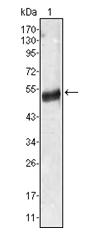AM06351SU-N - Angiotensinogen