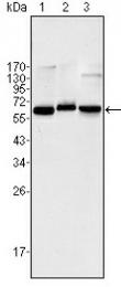 AM06378SU-N - RELA / NF-kB p65