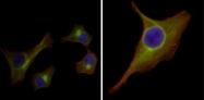 AM06387SU-N - Cytokeratin 15