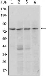 AM06417SU-N - PRDM1 / BLIMP1