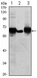 AM06465SU-N - Alkaline phosphatase / PLAP / ALPP