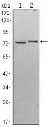AM06473SU-N - Kelch-like protein 13
