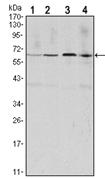 AM06530SU-N - Cyclin B1
