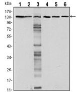AM06542SU-N - CD324 / Cadherin-1