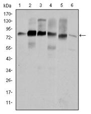 AM06601SU-N - Cortactin