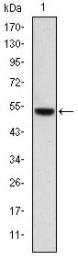 AM06618SU-N - Podocalyxin / PODXL