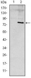 AM06627SU-N - Apolipoprotein E / Apo E