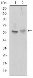AM06628SU-N - CD338 / ABCG2 / BCRP1