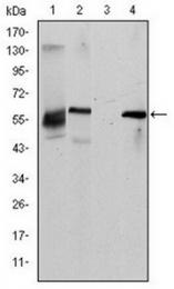 AM06631SU-N - CD338 / ABCG2 / BCRP1