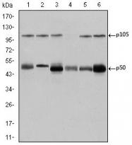 AM06636SU-N - NF-kB p105 / p50