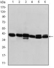 AM06638SU-N - Cytokeratin 19