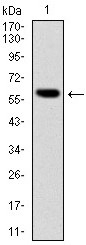 AM06644SU-N - B-cell linker protein / BLNK