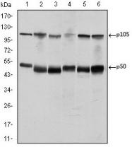 AM06646SU-N - NF-kB p105 / p50