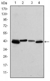 AM06660SU-N - Cytokeratin 19
