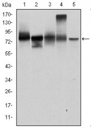 AM06681SU-N - Junction plakoglobin