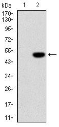 AM06692SU-N - Interleukin-1 beta / IL-1B