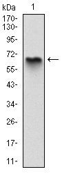 AM06698SU-N - Myelin Basic Protein