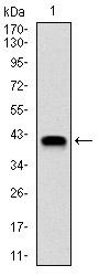 AM06718PU-N - NEDD8