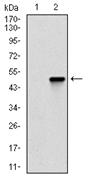 AM06725PU-N - Coactosin-like protein