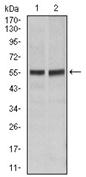 AM06730PU-N - CD95 / FAS