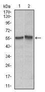 AM06732PU-N - CD95 / FAS