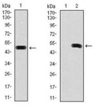AM06754SU-N - Fibronectin