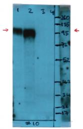 AM08170PU-N - CD107b / LAMP2