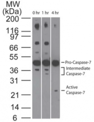 AM08364PU-N - Caspase-7