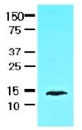 AM09011PU-N - FABP1