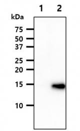AM09051PU-N - VAMP-3 / Synaptobrevin-3