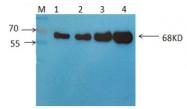 AM09262PU-N - Albumin