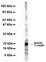 AM10220PU-N - VAMP-7 / SYBL1