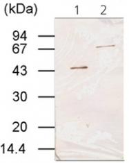 AM10224PU-N - Transglutaminase-3 (TGM3)