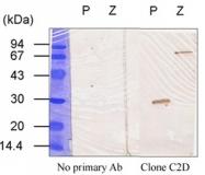 AM10225PU-N - Transglutaminase-3 (TGM3)
