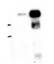 AM10558PU-N - ALIX / PDCD6IP