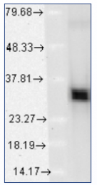 AM12018PU-S - Heme oxygenase 1 / HMOX1