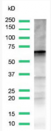 AM12128PU-N - Glypican-3 / GPC3