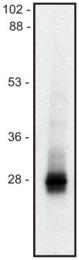 AM12130PU-N - LIME1