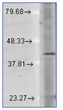 AM20049PU-N - Rhodopsin