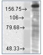 AM20075PU-N - NMDAR2B