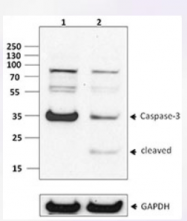 AM20420PU-S - Caspase-7