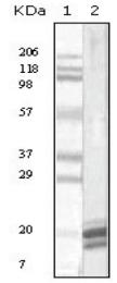 AM20852PU-N - Interleukin-1 alpha / IL-1A