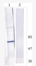 AM26122PU-N - HCV NS5B