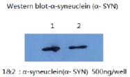 AM26400PU-L - Alpha-Synuclein / SNCA