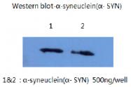 AM26401PU-L - Alpha-Synuclein / SNCA