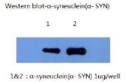 AM26402PU-L - Alpha-Synuclein / SNCA