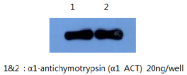 AM26406PU-L - Alpha-1-antichymotrypsin / ACT